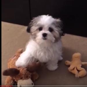 親友はだれ? お人形みたいにかわいい犬動画
