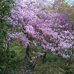桜を観るため秩父の札所へ