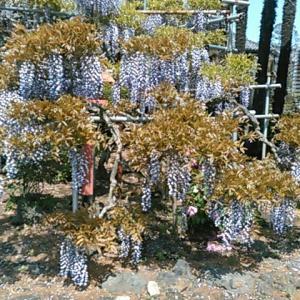 大慶寺の藤