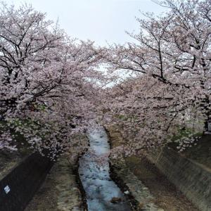曇川の桜並木
