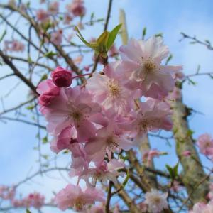 S厄神八幡神社の枝垂れ桜
