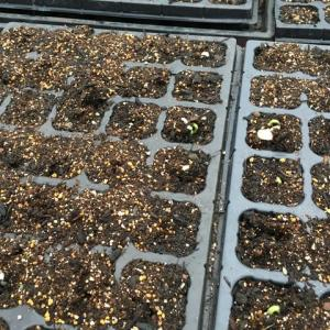 トマト植え付けの準備中