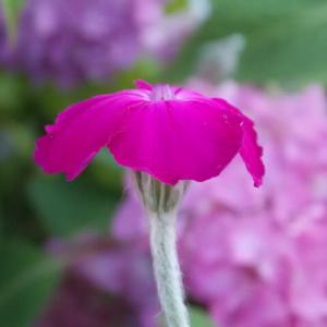 アジサイのかたわらで咲くスイセンノウ