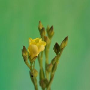 道端の小さく黄色い花