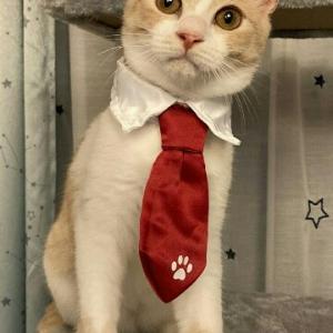 里親募集中☆ミルクティー色の茶白男子☆子猫です