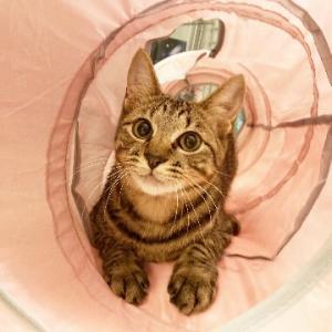 調布市から里親募集中!一緒に成長できるイケメンキジトラ男子☆子猫です
