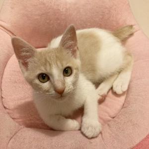 調布市から里親募集中!ふわふわミルクティー色の子猫