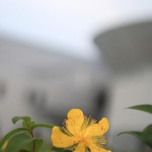 根上総合文化会館のキンポウゲ
