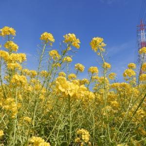 愛知牧場 菜の花畑と、オンラインマラソン