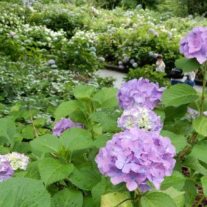 茶屋ヶ坂公園の紫陽花しっとり 2020.6