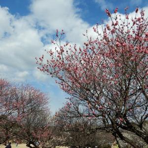 大高緑地の梅園 花盛り