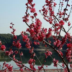 佐布里池の梅園 花盛り!