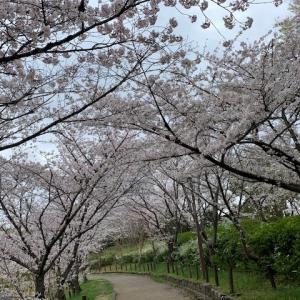 桜満開、花曇りの朝