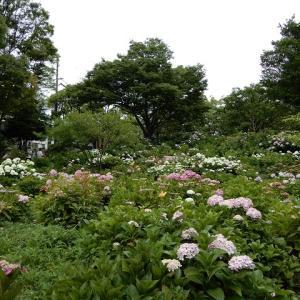 茶屋ヶ坂公園の紫陽花