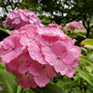 茶屋ヶ坂公園の紫陽花しっとり 2019.6