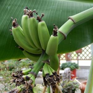 バナナなった!宿根草のお花畑とひょうたんトンネル!