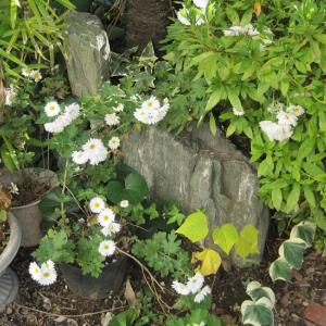 師走に咲く庭の花。