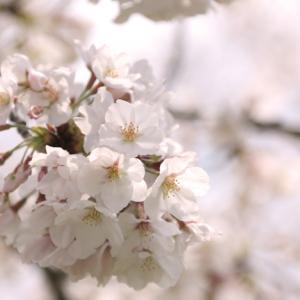 河川敷の桜んぽ♪