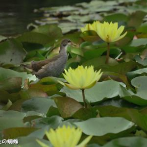 梅雨の花・睡蓮