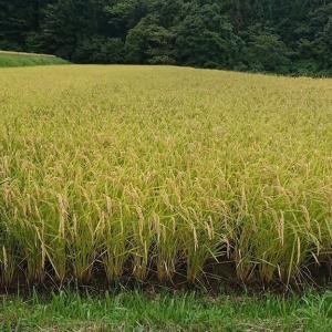 無農薬の米作りを体験してみませんか