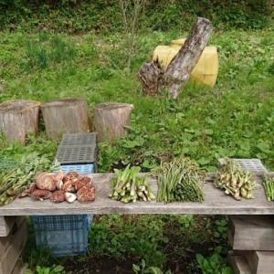 今、当農園で採れている山菜