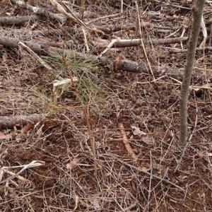 里山復活を夢見て その(5)  松の苗木を植える