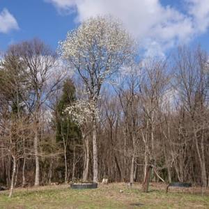 コブシの巨木