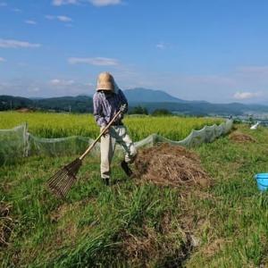 田んぼの畦の刈草