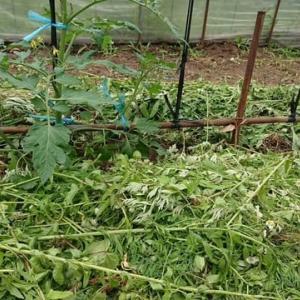 ミニトマトの育成管理(草マルチ)