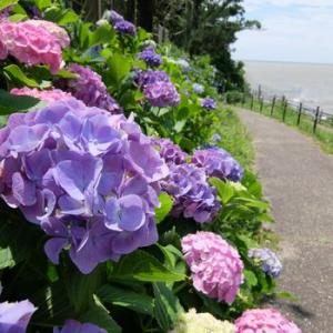 紫陽花の季節が始まった。