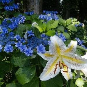 ユリと紫陽花とあんみつ