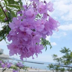ジャカランダの紫の季節
