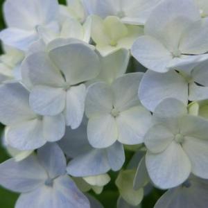 紫陽花とあんみつ