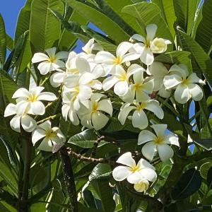 今回出会ったハワイのお花たち
