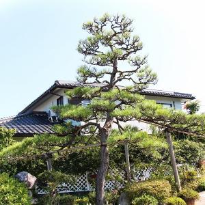 庭の樹齢150年以上の松をバッサリ