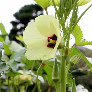 見上げる「オクラ」の花
