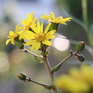 「ツワブキ」が咲く季節