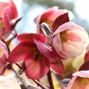 魅力的な花「クリスマスローズ」