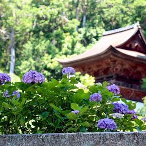 長命寺の紫陽花と石段(近江八幡市)