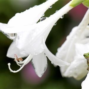 「ギボウシ」のリーフと花