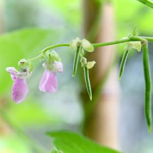 「インゲン」の花