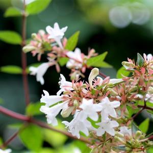 アベリア(衝羽根空木)の花と萼