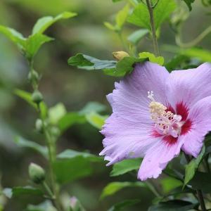 『ムクゲ』の花