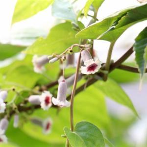 「ヘクソカズラ」の花