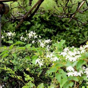 知らなかった「センニンソウ」の花