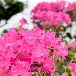花期の長い花木「百日紅」