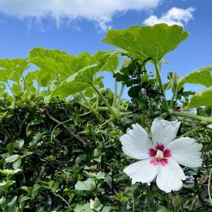 えぇ、カボチャの紫や白い花?