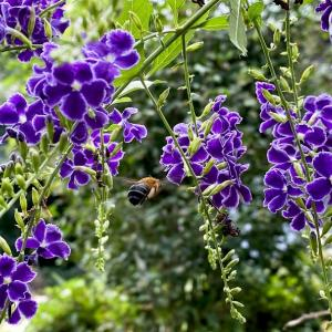 デュランタの青い花