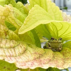 カエルの花見