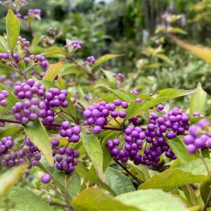秋は、紫「紫式部」